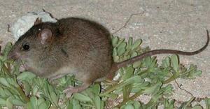 En gnagare, Bramble Cay-råttan, på en liten ö i Stora barriärrevet tros vara det första däggdjurets som blivit offer för stigande havsnivåer till följd av klimatuppvärmningen.