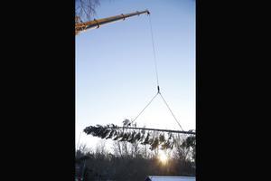 Träd efter träd lyfts effektivt bort från huset och tomten.