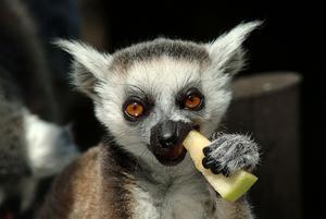 Skansen och därmed dess lemurer har en tuff tid. Foto: TT