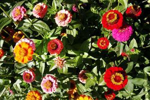 Färgglad Zinnia tillhör årets sommarflor.