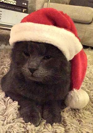 491) Katten på bilden heter Ludde. Han är fyra år och den allra keligaste katten som finns. Han är så snäll men har också konstiga matvanor. Han äter gärna grönsaker. Morötter och isbergssallad är två favoriter. Foto: Lina Lundmark