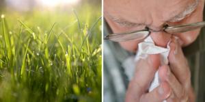 Pollensäsongen rasar alltjämt i Sverige. Men årets säsong tycks inte sticka ut mer än vanligt. Arkivbild. Foto: Janerik Henriksson/Fredrik Sandberg/TT