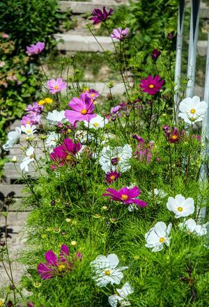 Rosenskära – vacker i rabatten, och som snittblomma.