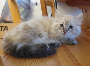 Kattungen Zuki stals vid inbrott i Hofors. Nu är han återlämnad till ägaren. Bild: Privat