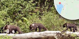 Tre björnungar rör sig i Mora och Orsa. Foto: Walter Bieri, Google maps