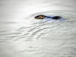 En bäver hade oturen att fastna på kroken. Bilden är tagen vid ett annat tillfälle.Bild: Arkivbild