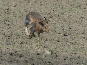 En hare kommer skuttande över åkern utan att upptäcka att jag sitter i skogskanten. Foto: Krister Ekman