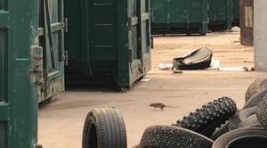 I veckor härjade råttorna på återvinningscentralen och bland husen i Johannedal. Nu börjar en minskning att märkas av.