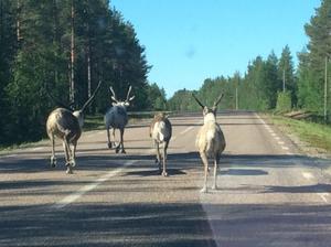 Det gäller att köra försiktigt när renarna går fritt på vägen.