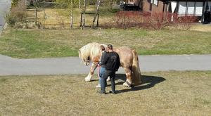 Det var en stor ardennerhäst som var på rymmen.