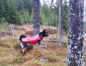 Hunden på bilden med skyddsvästen på är av rasen östsibirisk Laika och går under namnet Sigge.