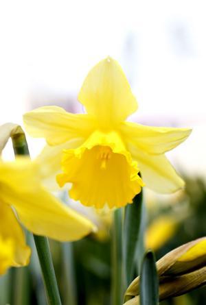 Narcissernas gula blommor lyser upp fönsterbrädan som små vårsolar.