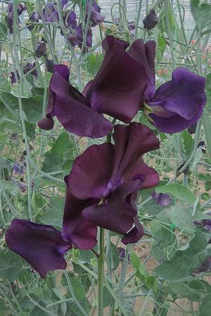 Luktärten 'Dark Passion' är mycket mörkt blå med drag av riktigt mörkt lila. Luktärten är förädlad av Dr. Keith Hammett från Nya Zeeland, en av världens främsta förädlare när det gäller just luktärtor. Foto: Rara växter
