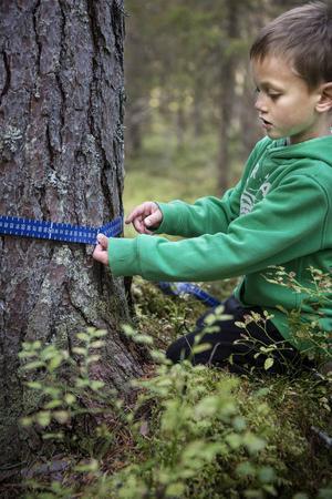 Hugo Larsson Möller mäter omkretsen på ett träd.    – Det är typ exakt två meter runt trädet.