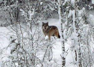 Vargen fotograferades i Lilla Ornäs strax före jul.