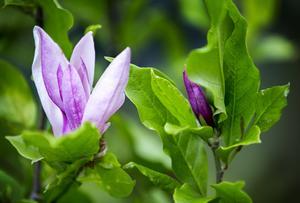 Magnolior finnsi många olika arter. Sven och Gunilla Sjöqvist har 60 olika arter i sin trädgård.