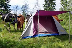 Det kan vara en god idé att prata med markägaren innan man sätter upp sitt tält. Tält på betesmark kan vålla problem för både campare och markägare.