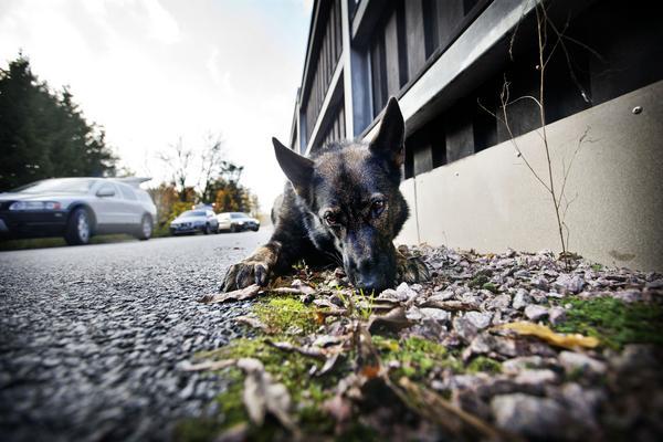 Ilya har hittat den 50-öring som instruktören och hundföraren Benny Andersson kastade ut efter söket i skogsdungen var färdig.  Nosen håller hon fryst mitt på 50-öringen.