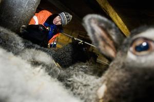 Lisa Thorén ser till att tackorna kommer in i fållan.