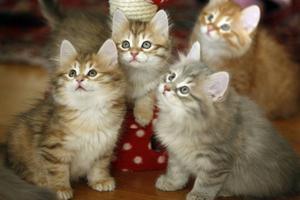 Kattungar från Britts nuvarande kull.