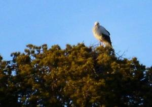 Att storken flugit fel konstaterade Jämtlands läns ornitologiska förening. Kanske har den följt med tranor eller några varma vindar mot norr.Foto: Carl-Eric Persson