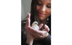 Therese Ryttar håller försiktigt den lilla kycklingen. Det är en av kycklingarna från äggen från dvärgsilkeshönsen som just kläckts.