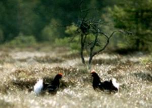 Det finns chans att få syn på ovanliga fåglar i de marker som planeras att bli naturreservat. Här är det två orrtuppar som spelar.Arkivfoto