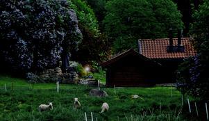 Grannens fårhjord i vila