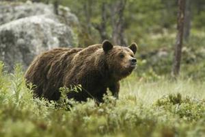 Bo Silwer har fotograferat denna björn den 6 september. Han skriver