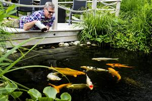 25 stycken Koifiskar simmar i dammen. Vissa är så tama att det äter ur Görans hand.