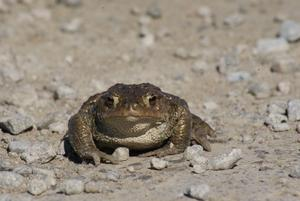 Här kommer värsta alligatorgrodan Hubert!! Inte direkt så man vill kyssa denna jätte stora alligatorliknande groda, eller hur?? Jag höll nästan på att kliva på den när jag var ute och gick häromdagen på grusvägen mellan Hedensberg och Hälllby.