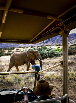 Spännande, men man får vara försiktig när de stora elefanterna närmar sig.   Foto: Jörgen Ulvsgärd