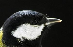 Vanligaste fågeln vid fröautomaten är Talgoxe.