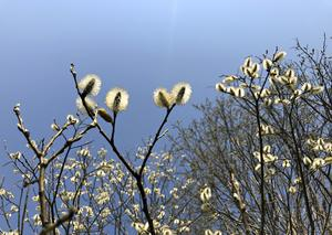 Sälg är mycket viktig under våren, skriver skribenten.