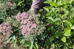 Många vanliga trädgårdsväxter är ätliga. Ett exempel är kärleksörten vars krispiga blad är goda i en sallad, berättar Viktor Säfve.