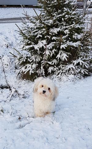 Om bilden: Det här Ronja, 4år , Bichon Havanaise.Busfrö som Älskar snön!Hon bor i Irsta.Bild tagen vintern -19. Foto: Ulrika Elfvingsson