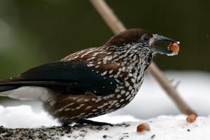 Nötkråkan gör skäl för sitt namn. Bilden tagen under en trevlig utflykt med Västmanlands Ornitologiska Förening 18/2.