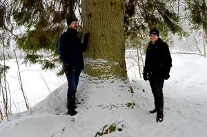 Denna gran är minst 130 centimeter i diameter och ska inte huggas ner, försäkrar Staffan Jansson och Torbjörn Murars.
