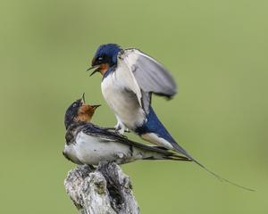 I Asköviken råder febril aktivitet bland fåglarna. Det gäller att hitta en partner att para sig med nu. Den vackra hannen hade lyckan att finna en villig. Men hejar hon på eller protesterar hon? Bild inskickad av Thommy Haglund.