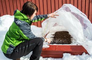 Frö på snö - en framgrävd odlingslåda har Hanna Helin sått för tidig skörd.