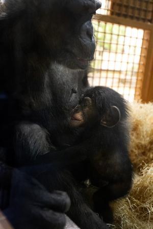 Schimpanserna Linda och Torsten är nära varandra dygnet runt.