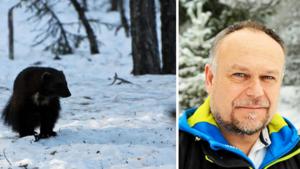 """Lars har Ångermanlands coronasäkraste jobb –  ensam i mörka skogen på  jakt på rovdjur: """"Men sämsta spårmöjligheterna någonsin"""""""