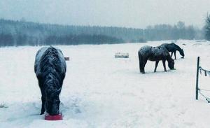 Hästarna Sasha, Milla och Shelly när de fick frukost på söndagsmorgonen. Bilden är tagen i Litslunda i Lillhärad. Foto. Anna Helgesson