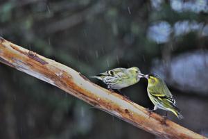Paret Grönsiska har visar sin kärlek till varandra, vilket är väldigt tidigt, om detta är inför årets häckning. Foto: Bernhard Randehall