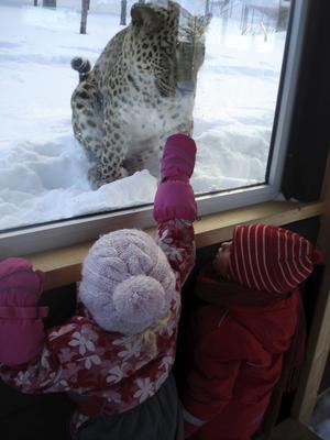 Hej, hej snöleopard! Mäktigt möte i Orsa Björnpark.
