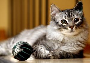 Katten Findus blev årets Lussekatt 2008. Fotograf: Jonas Bilberg