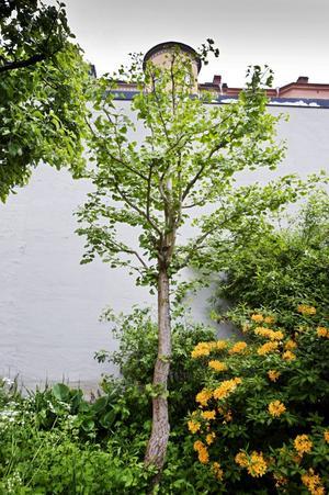 Ankfotsträd. Ginko biloba är ett gammalt träd som är miljoner år, även om just det här exemplaret är cirka 30 år. Den tyske poeten Goete skrev en dikt om sin kärleks och ginkobladets dubbelhet.