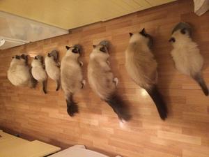 Så här ser det ut när alla 7 katter får mat. I vanliga fall är det bara 4 katter, men just nu finns det 3 kattungar hemma.