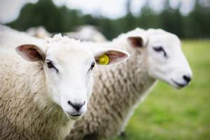 Attacker på får föranledde skyddsjakten på varg, som nu är inställd.