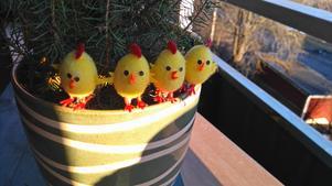 Mina fyra fina älskade kycklingar ... de är ni det.